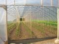 beanplantsingreenhouse